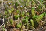 Spring Speedwell (Veronica verna)